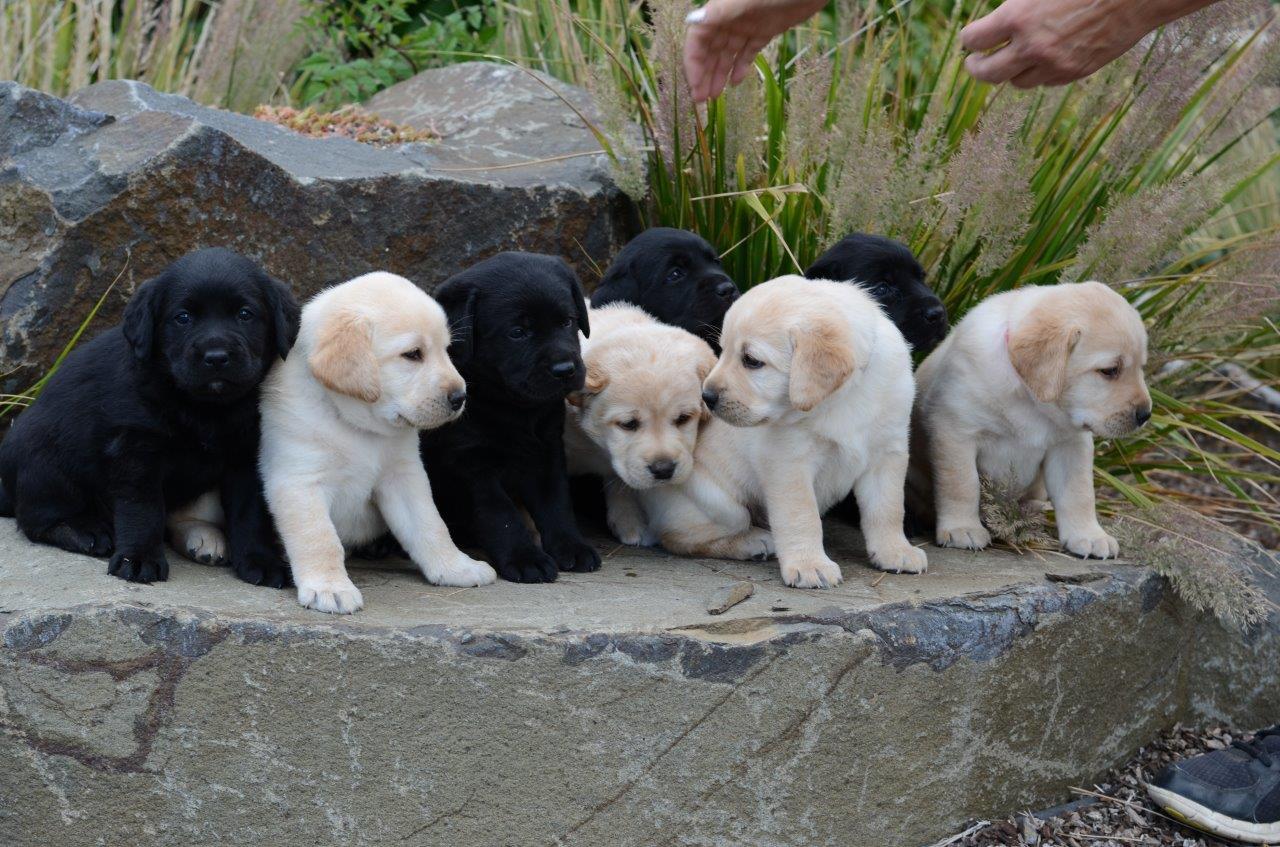 Carver Labradors of Washington | Labrador, puppies, Labrador